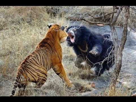 Biggest wild animal fights !!