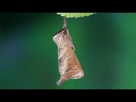 Clostera anastomosis moth -  Rostbrauner Rauhfußspinner, Wzjeżka wieszczyca