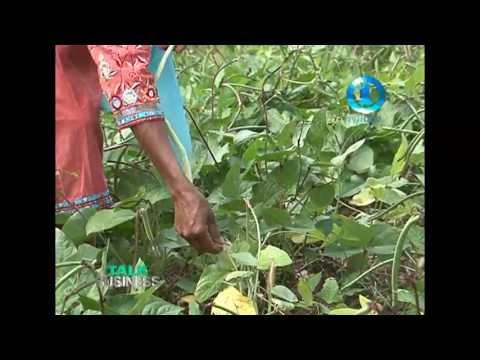 CASH CROP FARMING - LABASA, FIJI