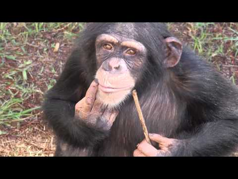 Laboratory Chimpanzee Released to Sanctuary
