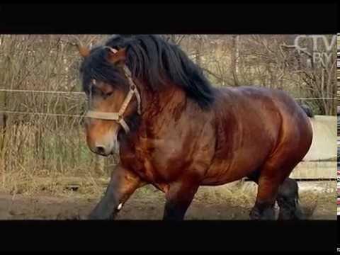Богатырские кони: где в Беларуси разводят  чистокровных русских племенных тяжеловозов?