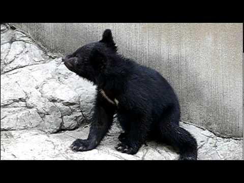 上野動物園のニホンツキノワグマの赤ちゃん。Baby Japanese black bear.#09