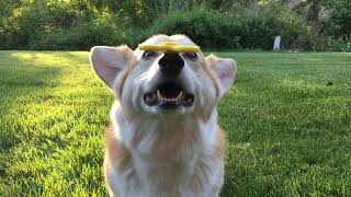 Clever Corgi Spins Fidget Spinner On Nose