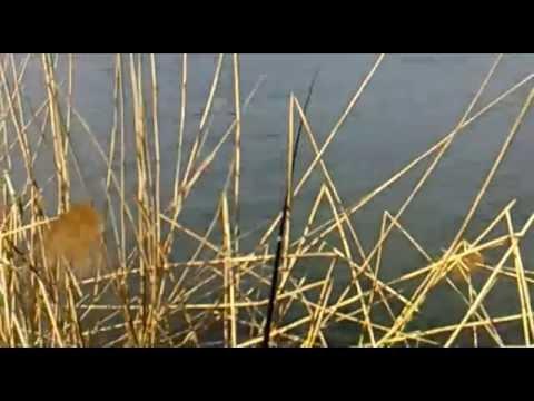 Карася на поплавочную удочку весной avi