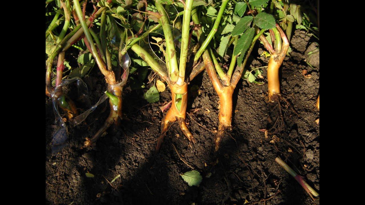 Выращивание шиповника на розы 227