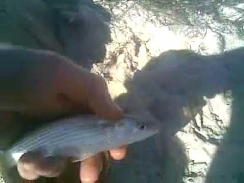 ловля азовского пеленгаса весной