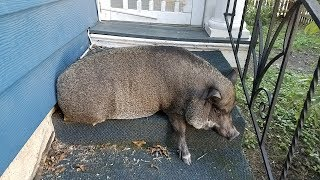 The Day My Pig Outsmarted Me