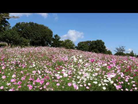 [4k] Cosmos Flowers 昭和記念公園のコスモス Showa Memorial Park in Tokyo