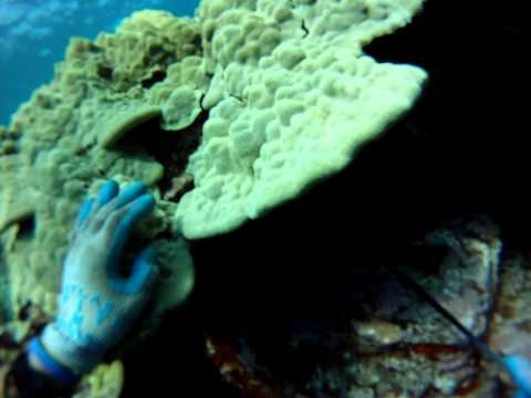 Spearfishing Kona Hawaii Fish Stuck in Coral.