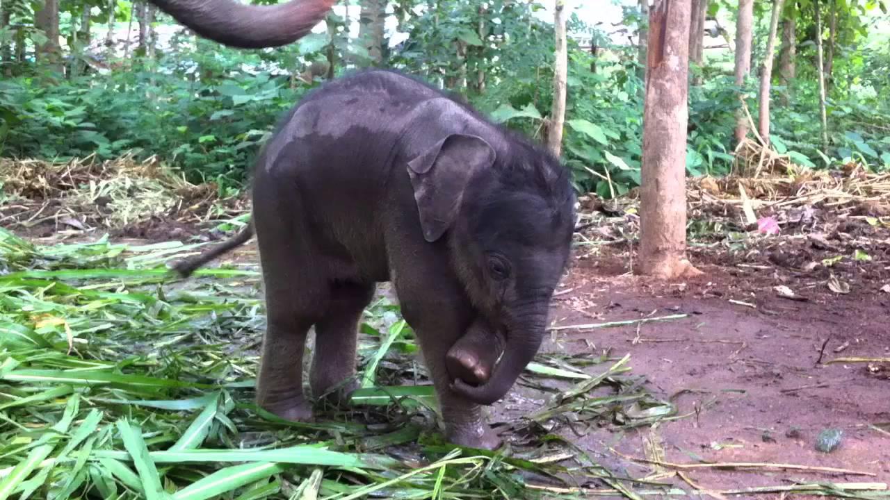 A saját ormányával játszik az imádnivaló kiselefánt - videó