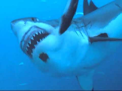 White Shark Dive 2009, Guadalupe Island