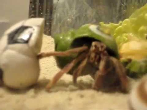 "Hermit Crab named ""Rocket"" changing his shell"