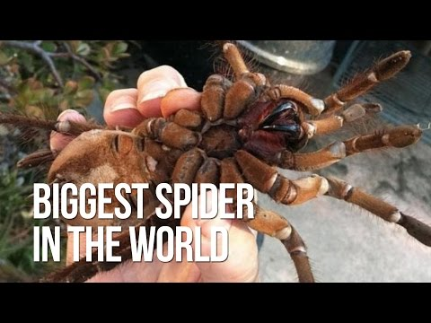 Biggest spider in the world