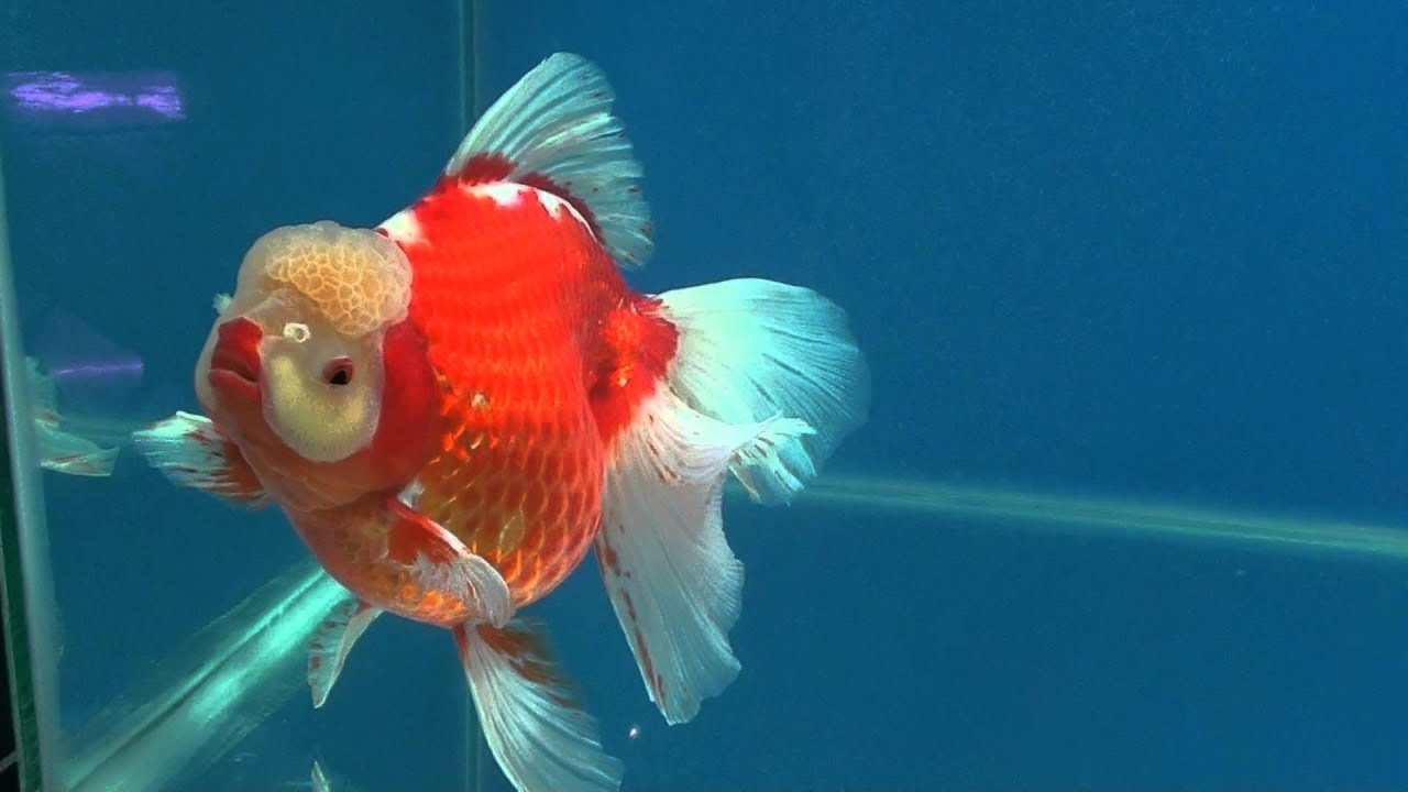 Goldfish competition igs jgs 1st oranda super jumbo march for Koi vs goldfish