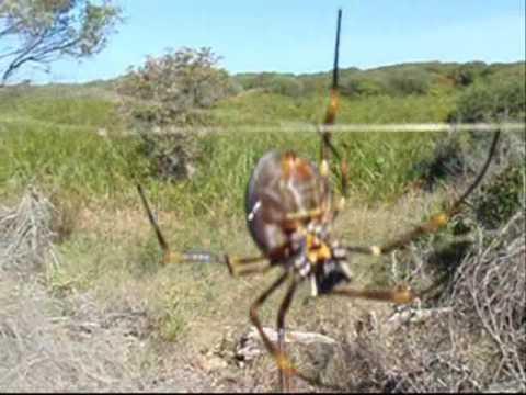 Australian Bird Eating Spiders Bird Eating Killer Spiders