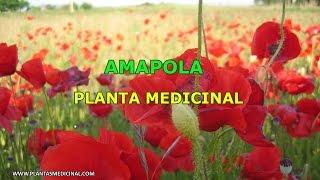 La Amapola - Propiedades y Beneficios