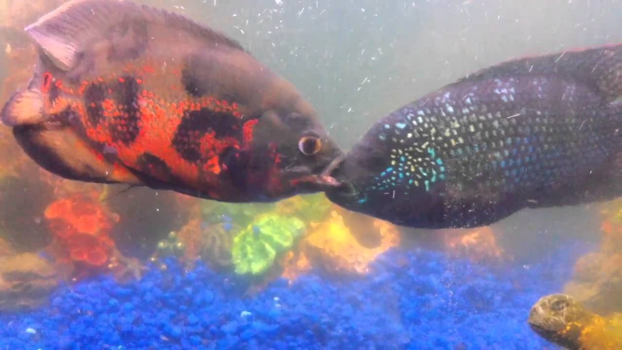 Red tiger oscar vs normal blue jack dempsey youtube for What is a jack fish