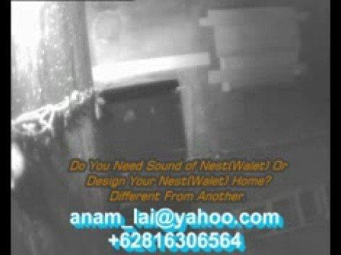 Suara Walet video