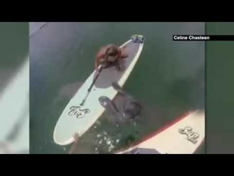 Manatí sorprende a surfista en Florida