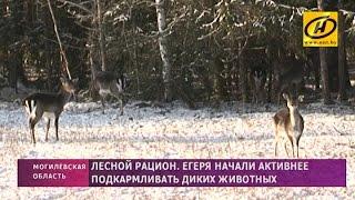 Егеря стали активнее подкармливать диких животных, чтобы помочь им пережить морозы