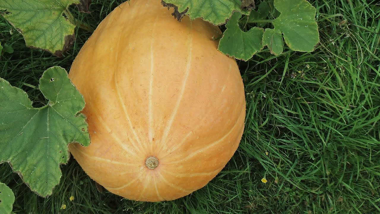 trove how to grow pumpkins