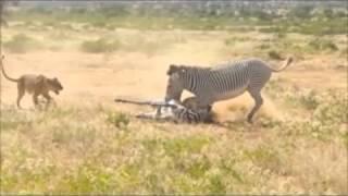 තමාගේ පැටියා බේරගන්න අම්මා විදින දුක (සංවේදී අය බලන්න එපා) Lion Kill video shortened version