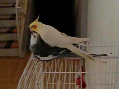 Cockatiel Mating (or Playing)
