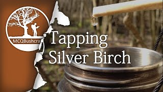 Bushcraft Foraging: Tapping Silver Birch