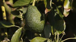 NZ Avocado Shortage Results In Desperate, Criminal Measures