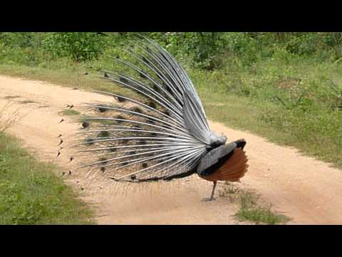 shake it like a Peacock