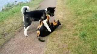 Rottweiler V Akita