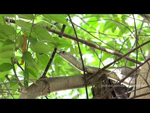 Indian Cobra on Jamaican Cherry  - Brillenschlange auf der Jagd im Baum
