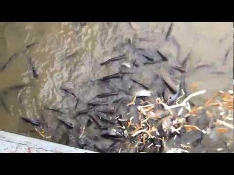 Chao Phraya River (Bangkok) Catfish – 2012