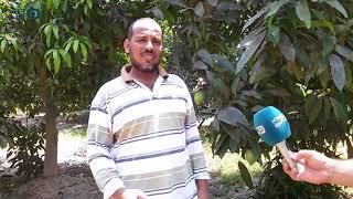 مصر العربية | حصاد المانجو.. فرحة وبهجة تطفأها ارتفاع الأسعار بالإسماعيلية