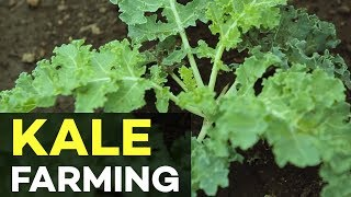 Kale in the Philippines: How to Grow Kale in the Philippines - The Queen of all Plants