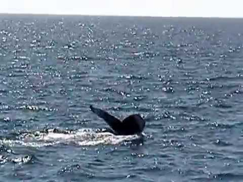 nice look at humpback with tail dive boothbay harbor maine whale watching