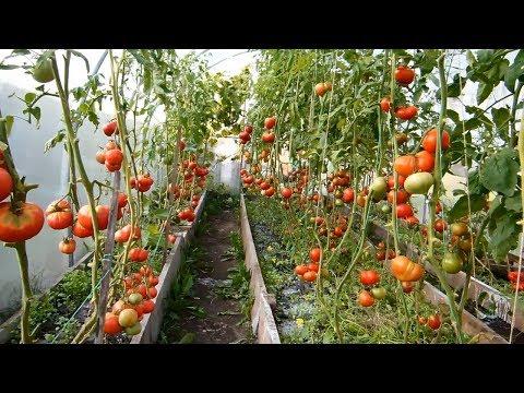 Какие сорта помидор выращивают в теплице