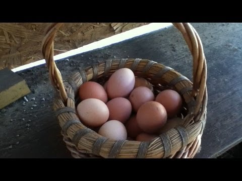 Collecting The Eggs From My Backyard Chickens