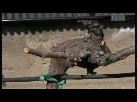 A szőlő és a gyümölcsfák metszése