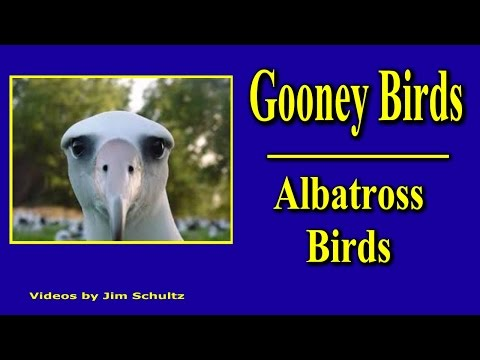 Gooney Birds - Albatross Birds of the biological family Diomedeidae