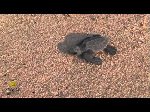 El Cid Baby Sea Turtle Release Program