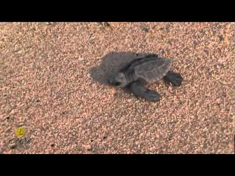 El Cid Baby Sea Turtle Release Program