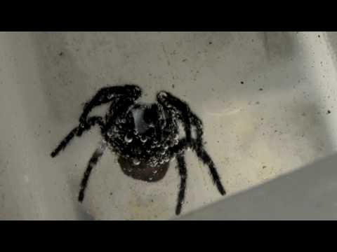 HUGE DEADLY FUNNEL WEB Spider - SUPER CLOSE UP (in HD) - Part 2 of 2