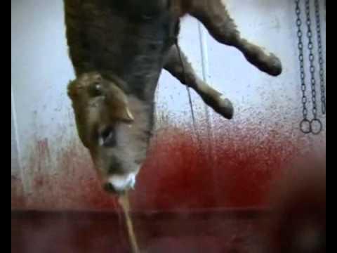 Matadero de vacas y terneros
