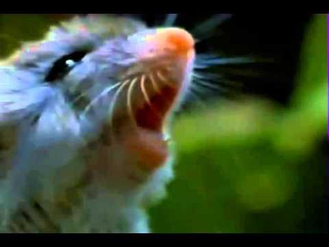 V Mouse Eating Scene Mouse eats scorpions a...