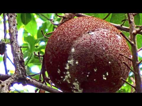 12.03.2012 Roseau - Dominica. Botanischer Garten. Video.
