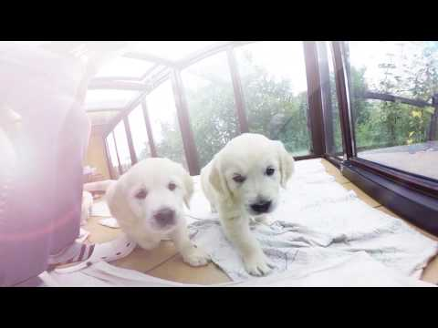 Virtual Dream-360 golden retriever puppies!