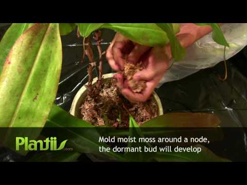 Propagating Nepenthes through Air Layering