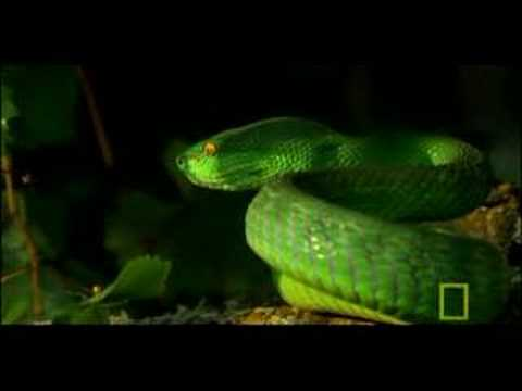 Deadly Venomous Viper Video