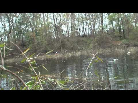 Motion in the decoys kills ducks!! - HD Pennsylvania duck hunting 2011